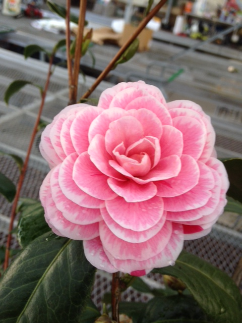 The Camellias are in bloom!