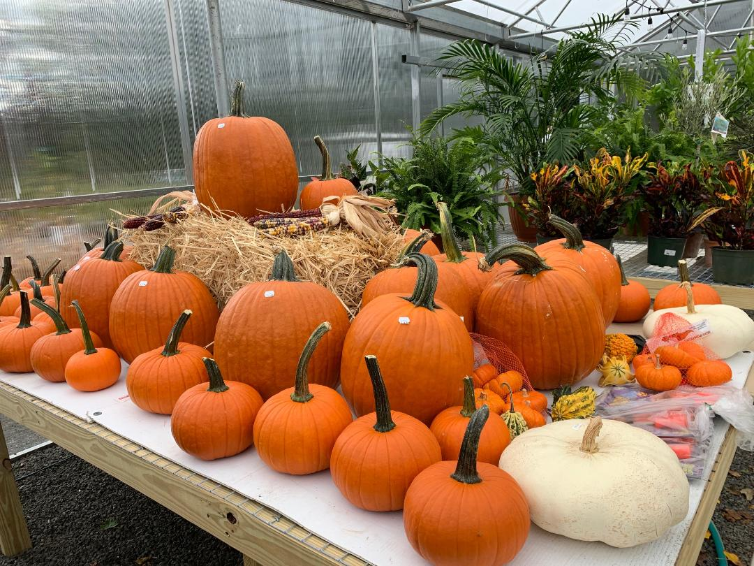 The pumpkins are here!