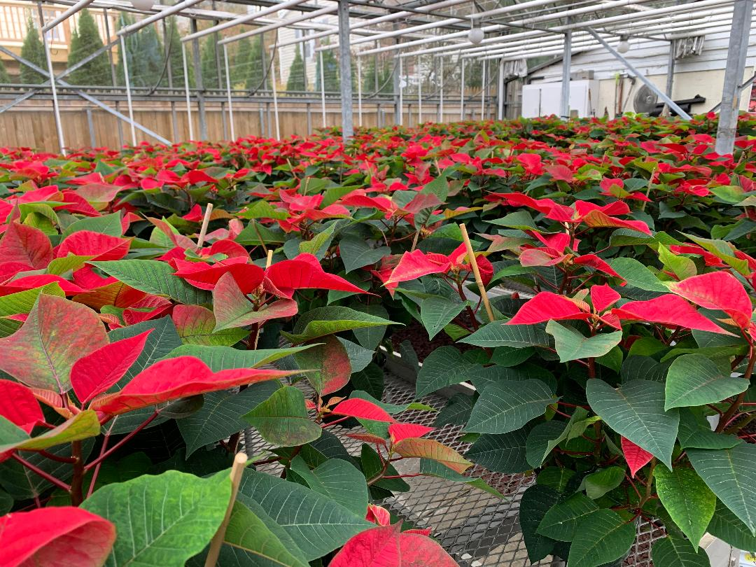 If you like Poinsettia plants no one ever said you had to wait until Christmas…they have arrived.  We have  a  variety of poinsettia sizes, beautiful red, pink, and white plants healthy and growing!